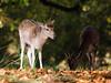 The overshadowed friend (Susanne Leyh) Tags: fallow fallowdeer deer animal wildlife richmondpark britishwildlife fawn mammal nature natur outside outdoors autumn