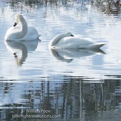 BHP07966 (GabriolaBill) Tags: swan swans bird birds nelder pond gabriola island gabriolaisland bc british columbia canada salish sea salishsea nature wildlife birdlife water sony a7r2 a7rii a7rm2 a7rmii 100400mm gm gmaster