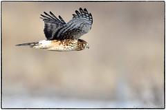 Northern Harrier (EXPLORE Jan. 16, 2018, #447 ) (RKop) Tags: d500 nikkor600f4evr 14xtciii raphaelkopanphotography fernaldpreserve ohio handheld