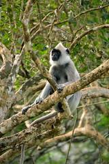 Sri_Lanka_17_137 (jjay69) Tags: srilanka ceylon asia indiansubcontinent tropical island yala yalanationalpark nationalpark wildlifetour wildlifespotting animalviewing viewing wildlife monkey