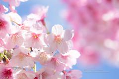 新春愉快.開工大吉 (湯小米) Tags: canon 6d ef100mmf28marco sakura 河津桜 櫻花 flower plant