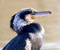 Cormorant Closeup (Blackpool Nature) Tags: birds