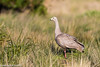 Cape Barren Goose, Phillip Island, Australia (Manuel ROMARIS) Tags: australia capebarrengoose victoria phillipisland geese summerlands au