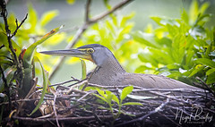 BARE-THROATED TIGER-HERON 1 (Nigel Bewley) Tags: barethroatedtigerheron tigrisomalineatum nest nesting onthenest rainforest costarica centralamerica wildlife naturalhistory greatoutdoors wildlifephotography endangeredwildlife bird birds avian birdlife distinguishedbirds birdwatcher creativephotography artphotography unlimitedphotos february february2018 nigelbewley photologo tortuguero