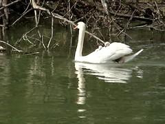 2006 MOV01713 croisière (kadely) Tags: sony oiseau cygne eau bird birds wasser wildlife vogels aves nature baby
