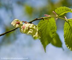 Wych Elm Blossom (margaretc1946) Tags: wychelm blossom wenchford forestofdean pentaxk3 tamron90mmf28macrolens