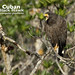 Cuban Black Hawk, Buteogallus gundlachii_199A3298