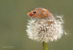 Harvest Mouse (oddie25) Tags: canon 1dx 100400mmmk11 mouse harvestmouse mice nature naturephotography wildlife wildlifephotography dandelion cute