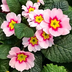 Pink Flowers. (jessica.aieta) Tags: colours nature pinkflowers flowers pink