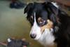 Sad eyes (sturner404) Tags: echo australianshepherd aussie dog play sony a6300 january 2018 winter