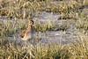 Watersnip (Manon van der Burg) Tags: vogelen sigma100400mm canon80d winter birdlover birdphotography bestschuw werkendam barrekou primeur watersnip snipe biesbosch