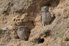 pair of little owls (Dave 5533) Tags: littleowl birds birdofprey nature naturephotography bird outdoor animal wildlifephotography owls canoneos1dx canonef300mmf28 animalplanet ngc npc