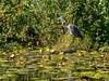 Heron (Warp Factor) Tags: burnaby deerlake heron olympustough summer2017 kayak kayaking pointshoot water