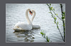 KNOBBELZWANEN (FotoRoelie.nl) Tags: watervogels knobbelzwanen zwanen