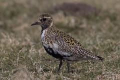 Golden Plover (The Treerunner) Tags: beachroad goldenplover