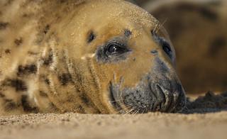 Grey Seal, I've got my eye on you.