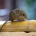 round-eared elephant shrew