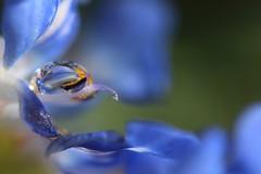 Le Berceau du Petit Prince... (Callie-02) Tags: plante jardin extérieur profondeurdechamp bokeh macro canon goutte drops couleurs bleu fleur