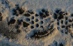 Footprints on a cold day (frankmh) Tags: snow cold winter footprint hittarp helsingborg skåne sweden outdoor macro