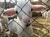 Babies in January (VillaRhapsody) Tags: sheep baby young ears pink cute sweet newborn challengeyouwinner