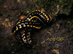 Tritangle (A. K. Hombre) Tags: minibeast millipede macro tangled tangle asiomorphacoarctata orthomorphacoarctata crawler animal invertebrate minibeasts entangled twist twisted