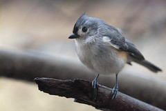 This Bird Can Sing (The Barrel Steward) Tags: tuftedtitmouse bird bokeh small tree outdoors winter february kentucky grey feathers tiny mouse nelsoncounty coxscreek nikon d810 70200 f28 rainyday
