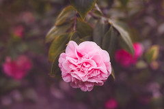 With you each day is Valentine's (Hanna Tor) Tags: bokeh garden petal bloom spring valentine love romantic nature beauty hannator