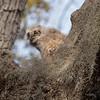 Great Horned Owlet (Rickfans76) Tags: greathornedowl hornedowlet hornedowl owls nest florida feathers nikond500 nikon300afsf4 beak tree sticks birds birdsofprey raptors animals