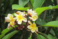 floral beauty :) (green_lover) Tags: plumeria frangipani flowers plants tenerife canaryislands siampark spain nature flora green blossom 7dwf
