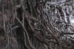 Ke'e Beach (Tony Pulokas) Tags: tree ironwood casuarinaequisetifolia casuarina beachsheoak austrailianpine beach hawaii kauai keebeach haena tilt blur bokeh