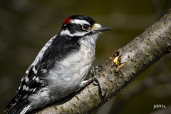 Downy Woodpecker (jt893x) Tags: 150600mm bird d500 downywoodpecker jt893x male nikon nikond500 picoidespubescens sigma sigma150600mmf563dgoshsms woodpecker coth thesunshinegroup alittlebeauty sunrays5 coth5