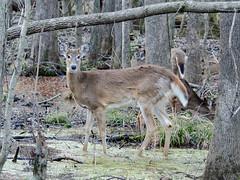 180217 Deer 4 (reneedobbs) Tags: deer wildlife nature swamp