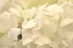 (WendieLarson) Tags: wickedhair wendielou wendielarson white flower fleurs flowers fiori d7000 california bloom nikon nature green garden macro landscape landscapes petals