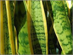 Sansevieria trifasciata .. (** Janets Photos **) Tags: uk plants nature motherlawstongue snakeplant closeups macro green