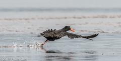 _DS57108.jpg (WaterDragon3) Tags: longreef birds