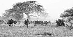 Maasaï with their cattle on the way back to the village - South Rift Valley - Kenya (lotusblancphotography) Tags: africa afrique kenya southriftvalley travel maasaï people gens cattle bétail dust poussière tree arbre monochrome blackandwhite