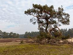 _Z1A3344 (doevos) Tags: gelderland hogeveluwe npdhv nationaalparkdehogeveluwe veluwe wandelfit