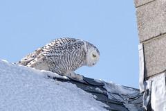 nh.snowy owl (donna lynn) Tags: newhampshire njaudubon birding birds nature wildlife winter february nikon d500 owls snowyowl buboscandiacus strigiformes strigidae