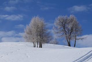 Dolomites Trees