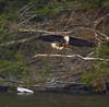 Fish Transfer Complete (John Kocijanski) Tags: eagle baldeagle animal bird birdofprey raptor flying fishing fish water wildlife nature canon70300mmllens canon7d
