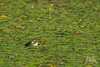 Green Green Green (fascinationwildlife) Tags: animal reptile wild wildlife nature natur pond frog bullfrog waterplant water kanada canada bc summer frosch ochsenfrosch british columbia southern