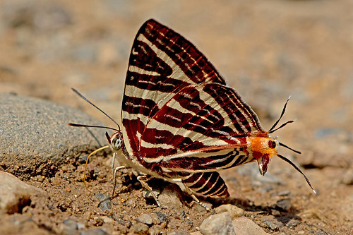 Cigaritis lohita - the Long-banded Silverline