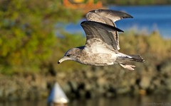 Sea Gull In-flight Side View (Photoski141) Tags: bccanada southboundtransit