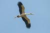 Asian Openbill in flight (RoosterMan64) Tags: asianopenbill bif bird birdinflight minneriyanationalpark nature srilanka wildlife