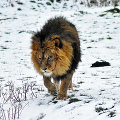 Cool cat (dan487175) Tags: lion bigcat snow cat zoo coldday furry outdoors fun