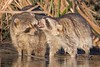 Ingrate (gseloff) Tags: raccoon wildlife animal nature teeth water bayou horsepenbayou pasadena texas kayak gseloff