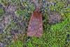 Chestnut, Burntisland, Fife, Scotland (Terathopius) Tags: fife scotland unitedkingdom uk greatbritain gb noctuidae chestnut conistravaccinii xyleninae