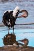 Australian Pelican (Pelecanus conspicillatus) (Arturo Nahum) Tags: australia aves animal arturonahum ave airelibre birdwatcher bird birds wildflife wild nature naturaleza naturephotography pajaro pajaros australianpelicanpelecanusconspicillatus