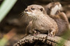 Otter (Ausguy81) Tags: otter canberra zoo cute furry animal wet