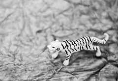 18/365- Powerful (KamPhotography3) Tags: 7dwf tiger bnw black white canon750d canonphotography canon canonshots canon50mm project365 miniature blackandwhite flickrlounge small weeklytheme
